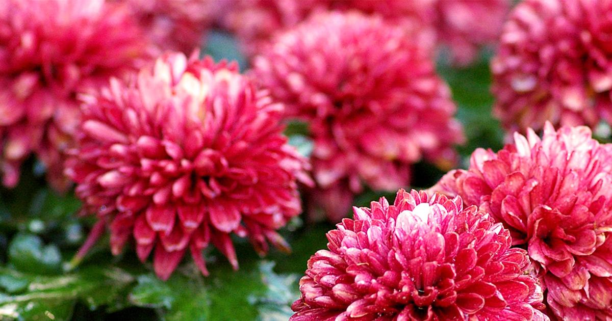 Piccoli crisantemi alle finestre
